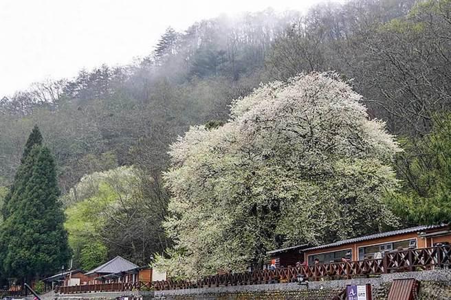 觀霧山莊霧社櫻(圖片旅遊經提供)