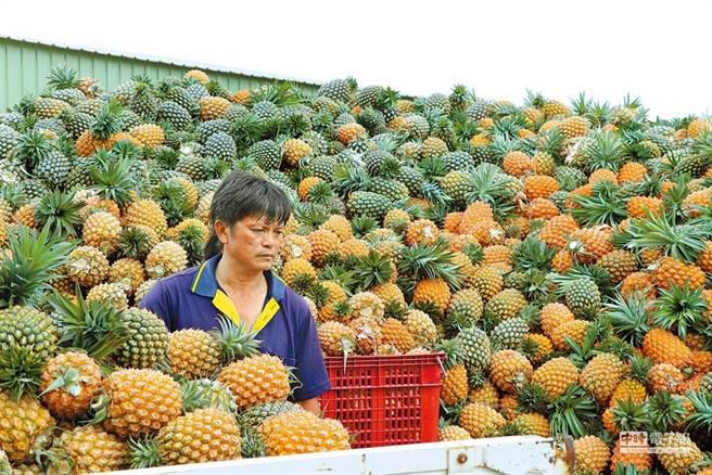 台灣鳳梨為何被大陸停進口?圖為鳳梨農民。(圖/本報資料照片)
