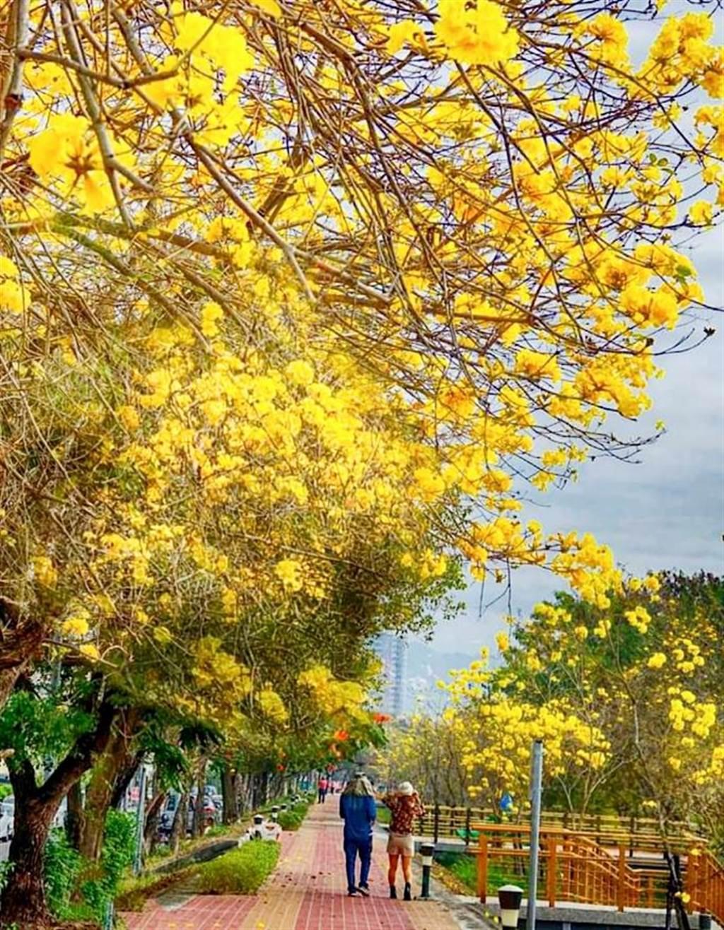 嘉義市軍輝橋八掌溪畔黃花風鈴木盛開,遊客絡繹不絕。(賴萬鎮提供)