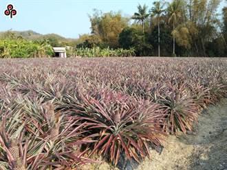 鳳梨禁銷陸效應?台北市場今批發鳳梨量減18%、價格減4.5%
