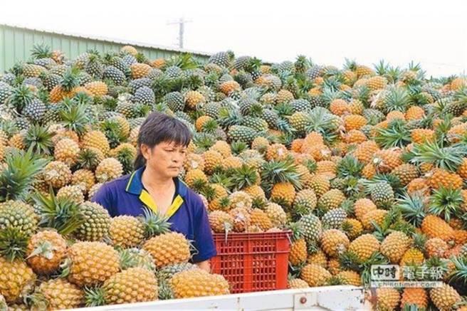 大陸無預警禁止台灣鳳梨進口,讓農民叫苦連天。(圖/本報資料照)