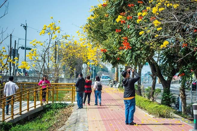 遊客在軍輝橋八掌溪堤防上欣賞黃花風鈴木。(嘉義市政府提供)
