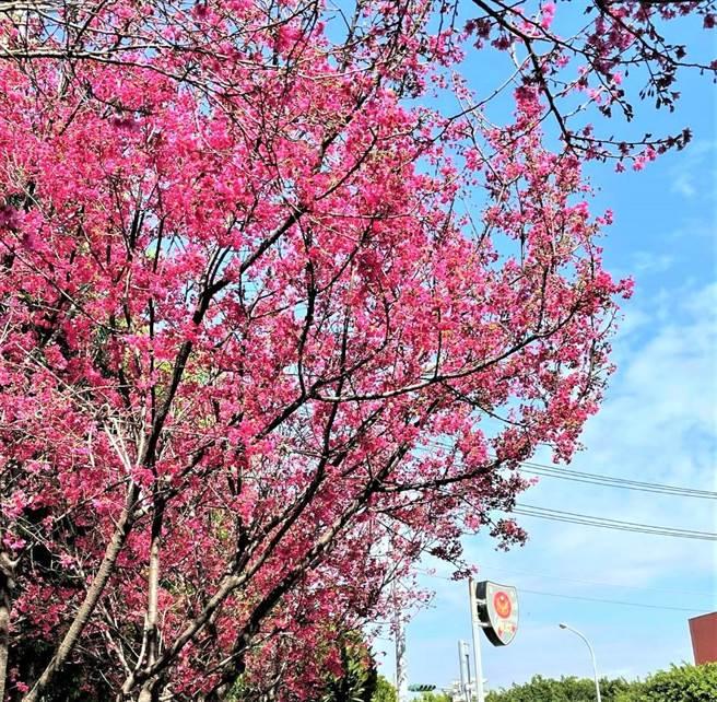 228連假何處去,台中市府推「賞櫻地圖懶人包」,民眾可以按圖追櫻。(盧金足攝)