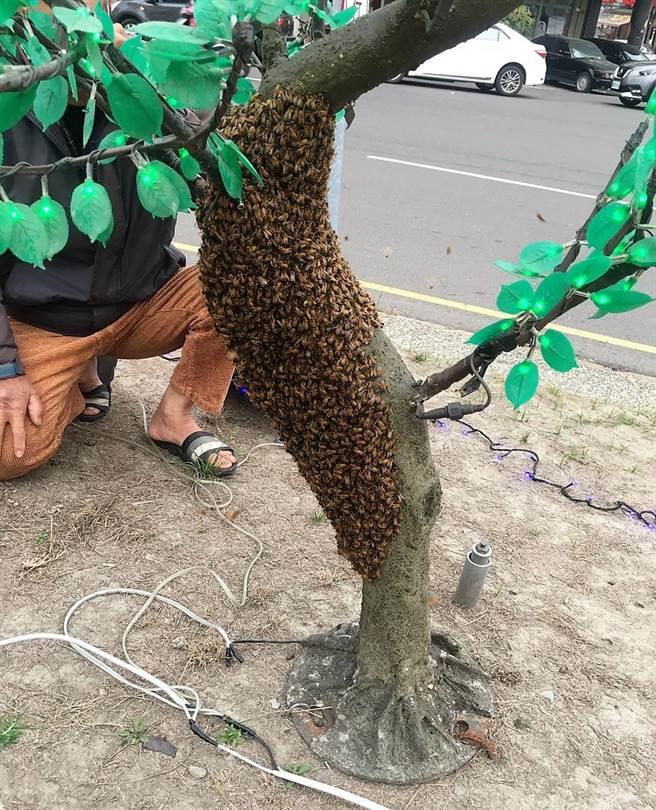 3000至4000隻蜜蜂附著在斗六市圓環的桃花樹花燈上。(劉津丞提供)