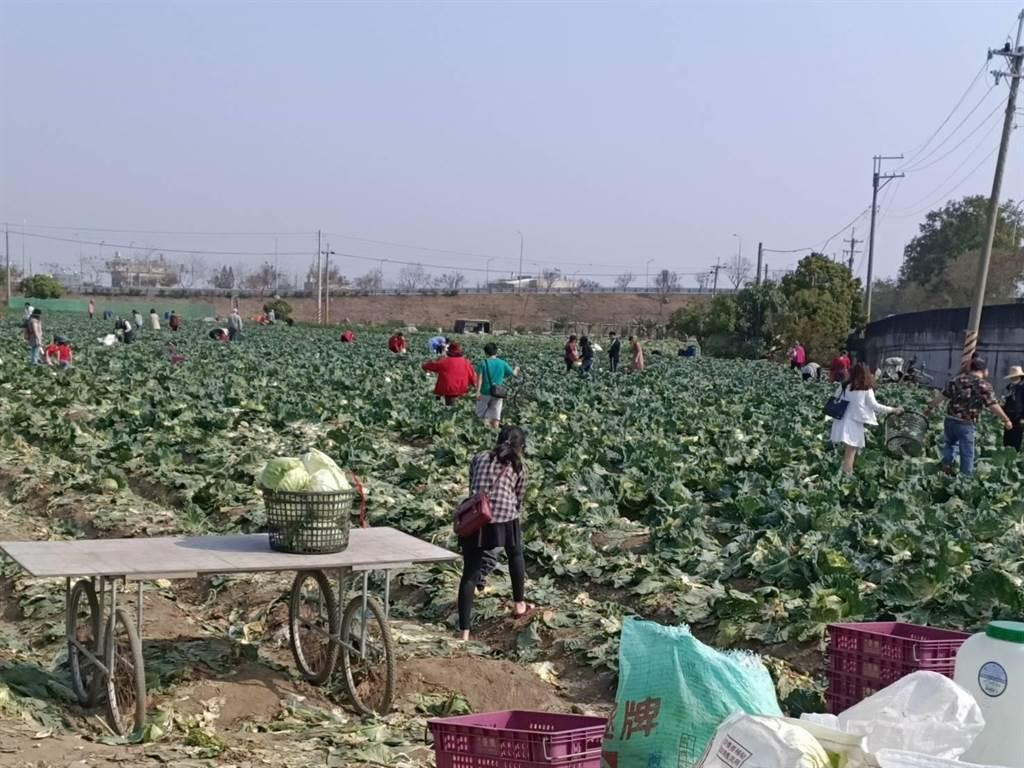 鹿草鄉農民李宗祐228連假開放菜園讓民眾自採高麗菜,吸引許多民眾來捧場。(張毓翎攝)