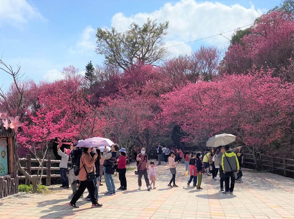 協雲宮周邊種有上千株櫻花樹,春節期間花況滿開吸引眾多遊客踏青賞花。(巫靜婷攝)