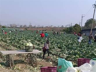農民228連假每顆高麗菜10元開放自採 民眾樂當一日農夫