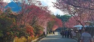 连假赏樱夯爆 南投多处樱花景点人挤人