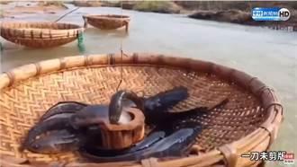 竹簍挖洞引鯰魚上鉤 超強神技網驚:第一次見到