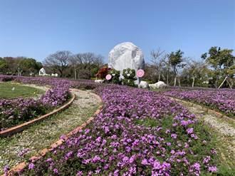 初春最浪漫 后里環保公園波斯菊、馬櫻丹雙色花海綻放中