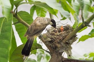 鳥媽媽辛苦覓食養孩子 才剛飛走大鳥驚闖巢中 結局心碎