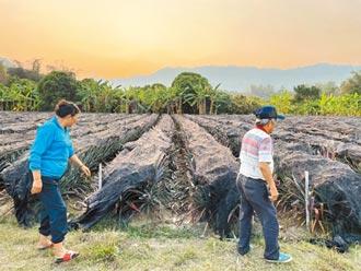 憂鳳梨價格崩盤 農民恐大規模棄採