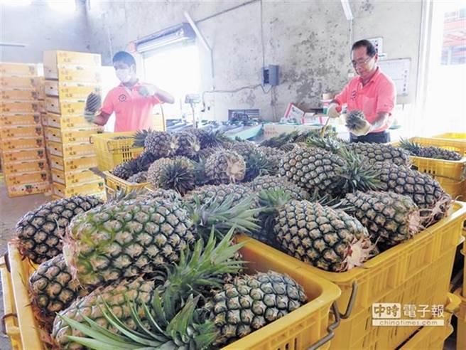 大陸宣布3月起全面禁止台灣鳳梨進口,投下震撼彈。(資料照,曹婷婷攝)