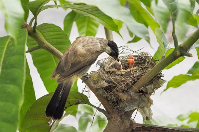 紅耳鵯媽媽剛離開鳥巢外出覓食,不久後褐翅鴉鵑就闖入巢中,將一隻小鳥生吞下肚。(示意圖/達志影像)