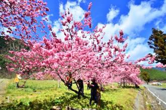 太扯了!到武陵農場賞櫻 遊客竟爬櫻花樹取景