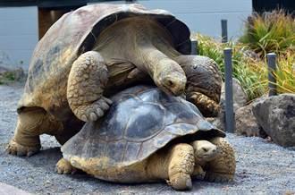 百歲象龜因為性慾太強 生800小龜逃過絕種