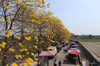 朴子溪堤防黃花風鈴木盛開 流動攤販也如花海「綿延無盡」