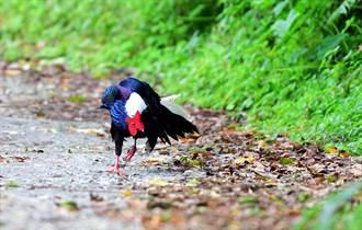 藍腹鷴公鳥跳殭屍舞把妹 美眉母鳥驚嚇落跑