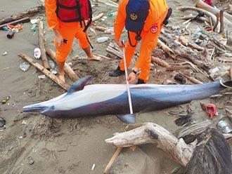首現蹤中部海岸 珍稀海豚擱淺亡