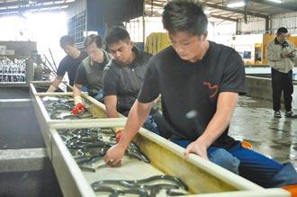 台灣鰻日本市占率 從5成跌至5趴