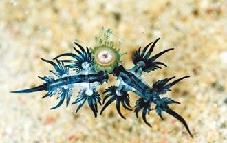 罕見美麗毒物 海神海蛞蝓現綠島