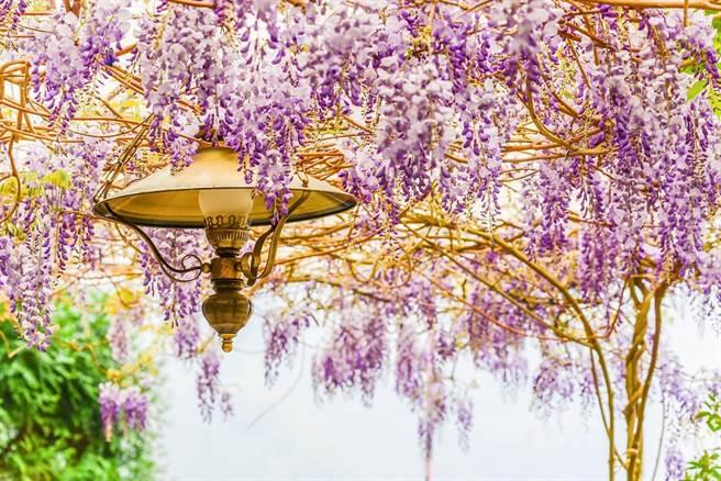 嘉義梅山紫藤花。(可樂旅遊提供)