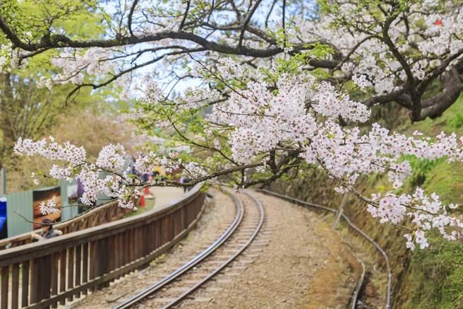 嘉義阿里山櫻花。(可樂旅遊提供)