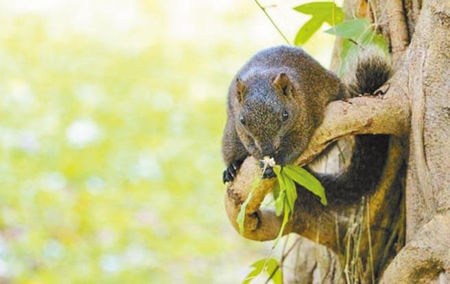 台北市大安森林公園松鼠過量,樹皮也遭啃食,嚴重破壞生態。(北市工務局提供/張薷台北傳真)
