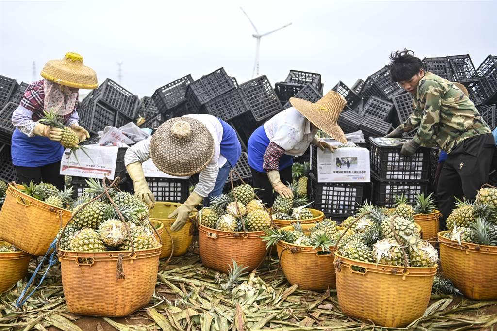大陸官方2月26日祭出台灣鳳梨禁令後,大陸官媒隨後大力對內推銷大陸本土產鳳梨。新華社和央視近日陸續報導廣東徐聞的菠蘿(鳳梨)即將上市,當地還打造「菠蘿高鐵專列」送貨到大陸各大城市。(中新社)