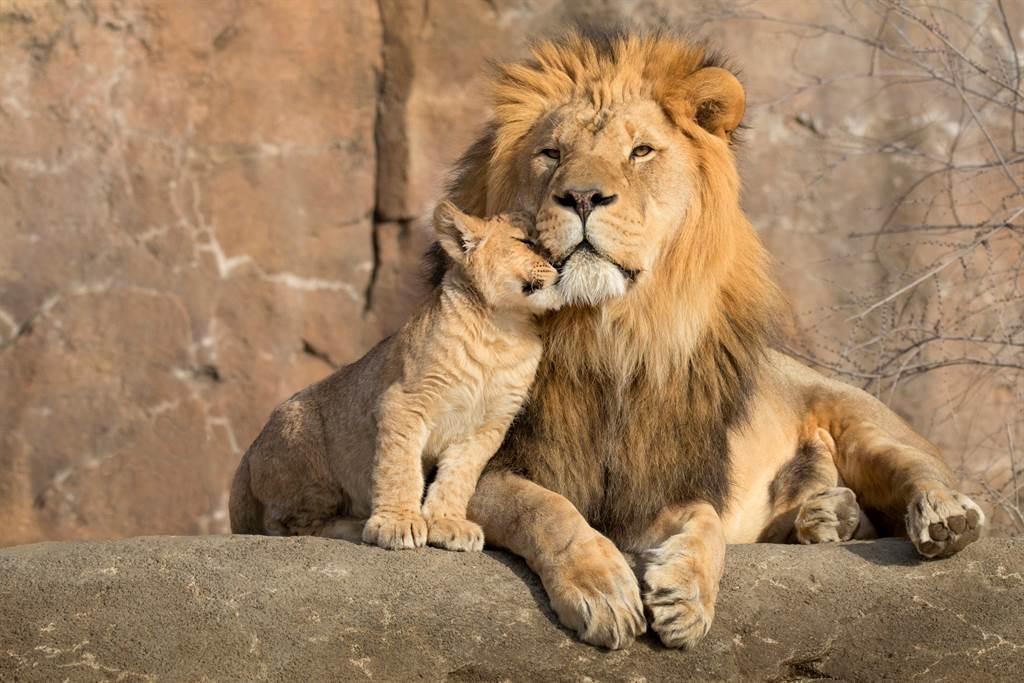 公獅懶得理會一旁搗蛋的小獅,沒想到下秒自己身上的鬃毛就被硬生生拔下。(示意圖/達志影像)