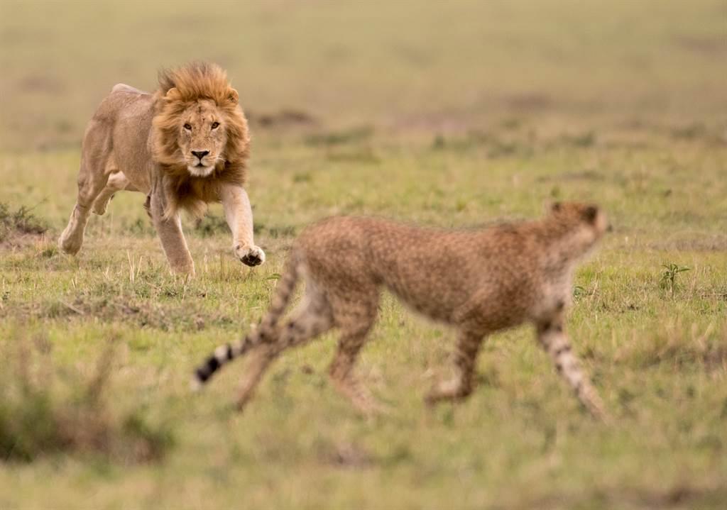 一名野生動物攝影師拍攝到獅子「生吞」獵豹頭部的有趣錯位照片。(示意圖/達志影像)