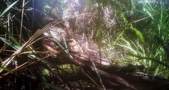 塔斯馬尼亞虎滅絕85年現蹤?一家三口隱身草叢 照片曝光