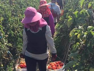 上萬顆免費牛番茄半小時內採光 朴子里長偕果農加碼辦第2場