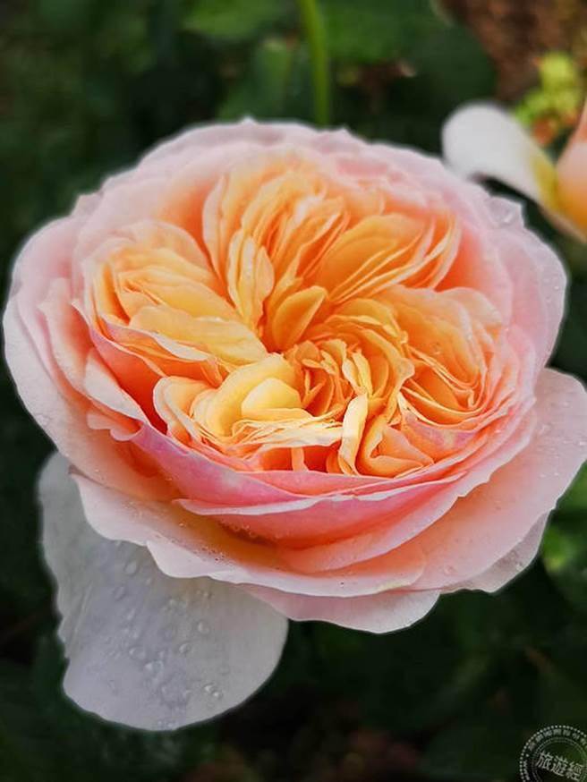 各式玫瑰(洪書瑱攝)
