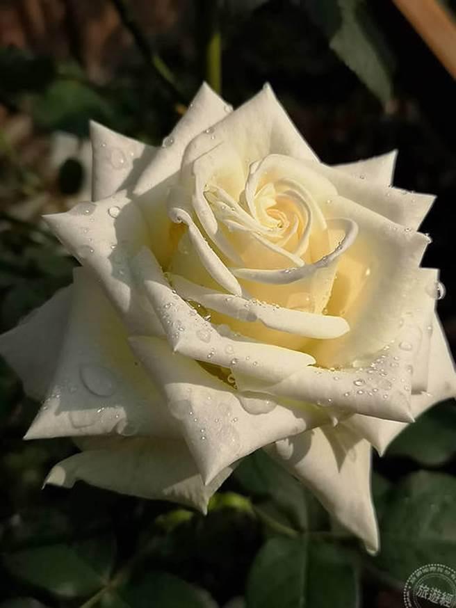 有些玫瑰直徑如手掌大小(洪書瑱攝)