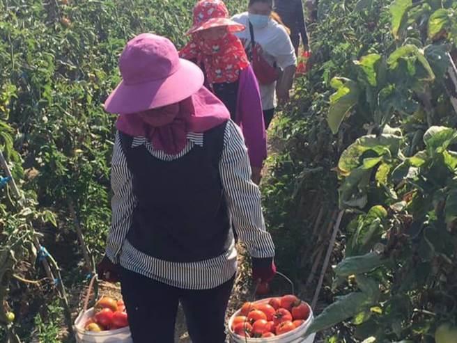 嘉义县朴子市种植牛番茄的林金地夫妻上个月底开放民眾免费自採,吸引逾百人到场。(杨石旭提供/张毓翎嘉义传真)