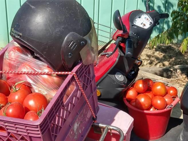 上万颗又大又红的牛番茄,半小时内全被採光。(杨石旭提供/张毓翎嘉义传真)