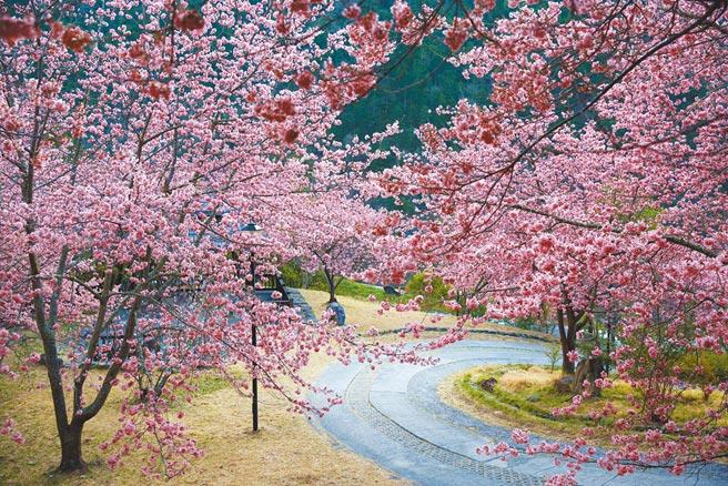 武陵農場櫻花目前仍美不勝收,即日起至3月中旬,是上山賞櫻的好時機。(武陵農場提供/陳淑娥台中傳真)