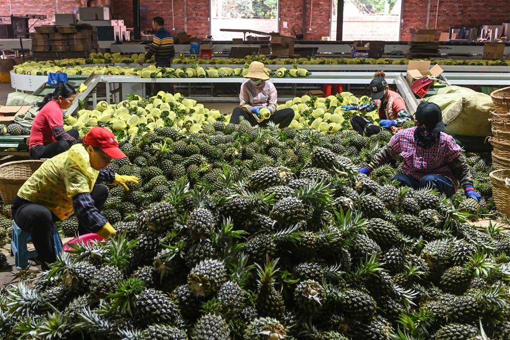繼3月1日廣東菠蘿(台灣稱鳳梨)抵達嘉興市場掀起一股熱潮之後,3月2日廣東徐聞「菠蘿的海」再次掀起一股熱浪。(中新社)