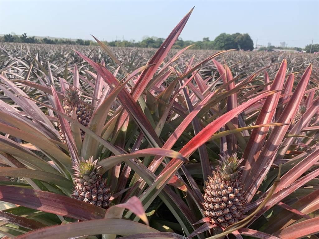 雖然台南鳳梨尚未進入量產季,農會歡迎民眾先預購。(劉秀芬攝)