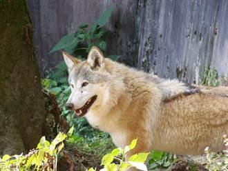 狼老死動物園找代班 遊客見籠內本尊傻眼