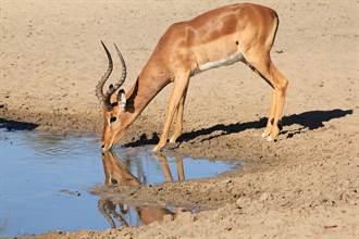 黑斑羚喝水池中暗藏殺機 生死瞬間神反應扭轉結局