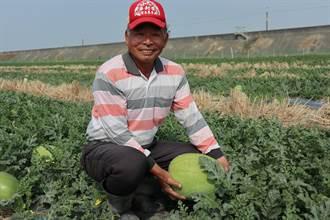 乾旱讓西瓜「瘦了一圈」 但有利甜度加倍