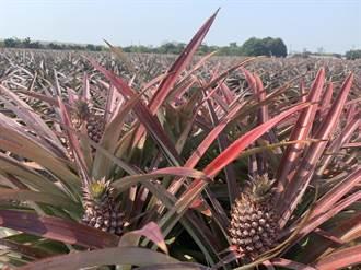 台南鳳梨產季未到?農會:歡迎預購