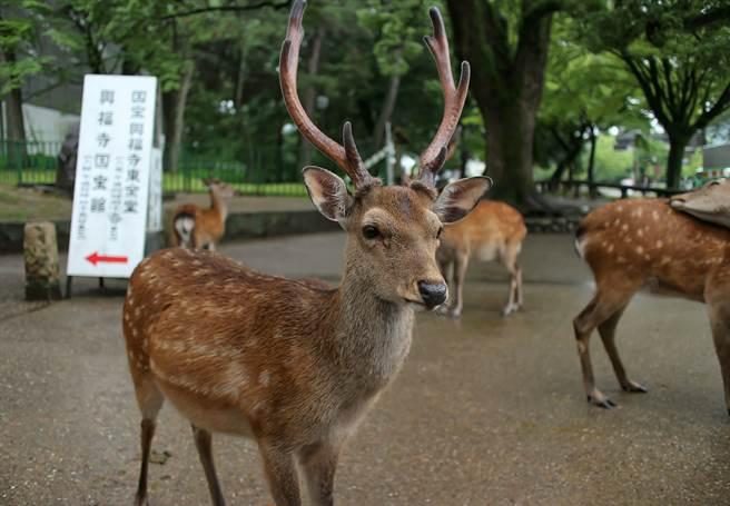 嫌犯吉井勇人日前闖入奈良公園找鹿玩,豈料期間愛車被鹿撞到,讓他一氣之下決定殺鹿。(示意圖/達志影像)