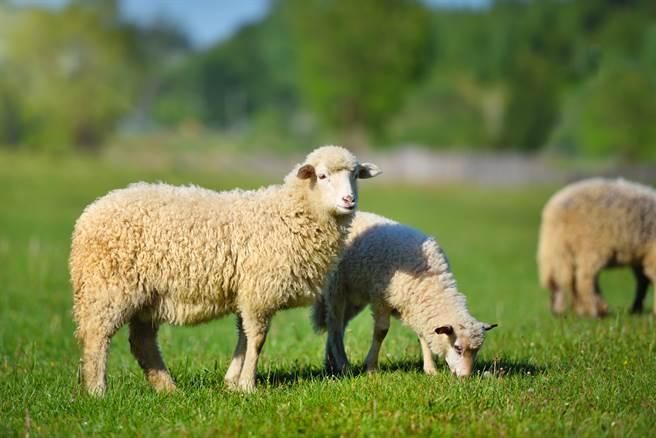 墨西哥某牧場18頭羊莫名死亡,讓當地人懷疑是傳說中的吸血怪物「卓柏卡布拉」所為。(示意圖/達志影像)