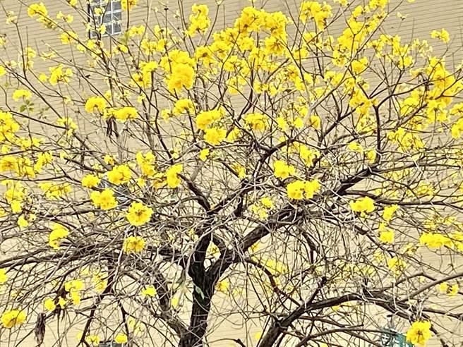 春天脚步到,台中市多处公园及道路黄花风铃木盛开,彷佛被洒上金箔般缤纷、贵气。(卢金足摄)
