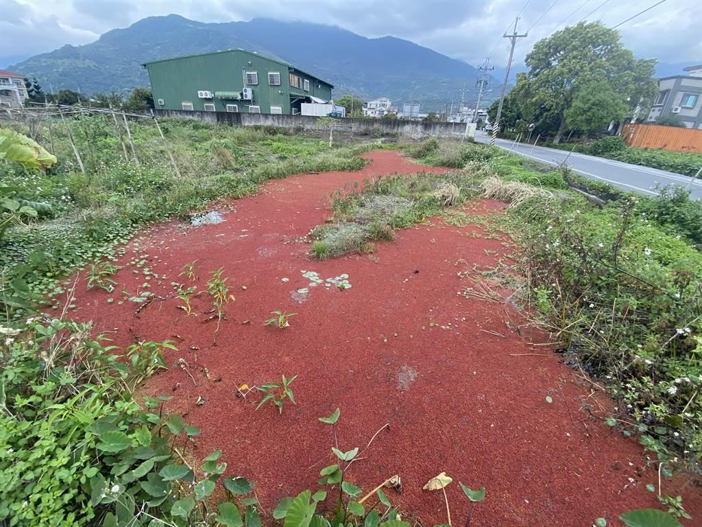花蓮吉安鄉慶豐村一處休耕農地,近日被大片紅色漂浮物覆蓋,連當地農民都說很少見。(羅亦晽攝)
