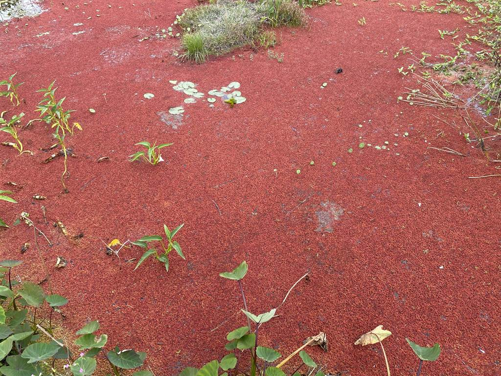 「滿江紅」同時也是一種綠肥植物,它可以固定空氣中的氮,是很好的氮肥來源。(羅亦晽攝)