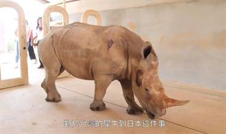 六福犀牛妹艾瑪出嫁前學日語當好媳婦 增重維持豐滿身材